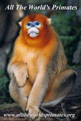 Lemur,  Apes,  Chimpanzees,  Gibbons,  Primatology